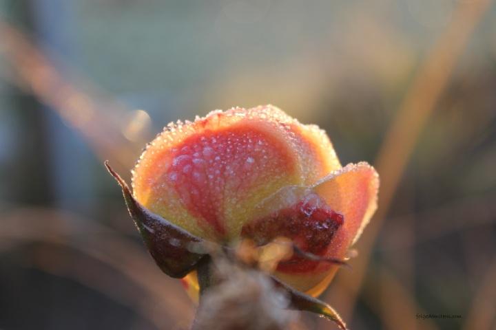 blog-rose1.JPG